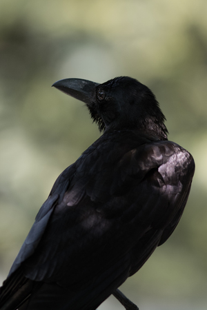 The Large-billed crow live in the park. Stock Photo