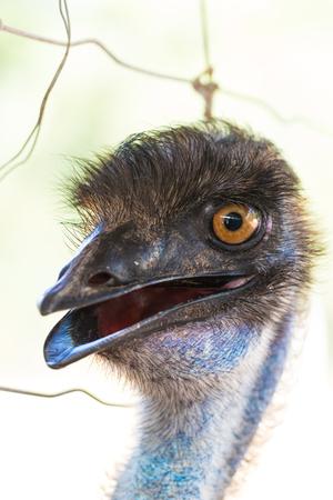 Emu head wiith white background