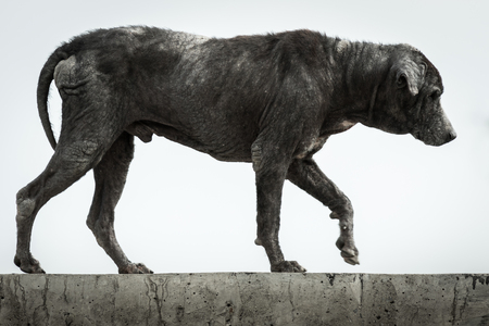 Dirty stray dog is a skin disease on white background. Imagens