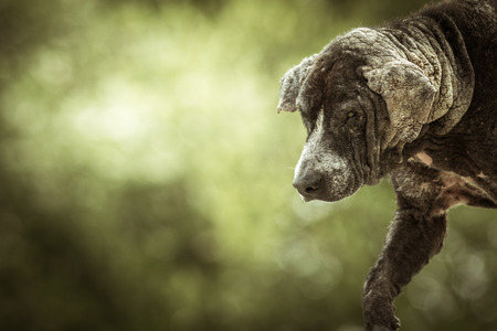 Dirty stray dog is a skin disease on green background. 版權商用圖片