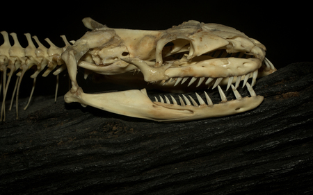 El hueso de una serpiente se exhibe en el museo de reptiles.