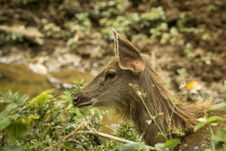 A Sambar deer live in the jungle, Khaoyai National Park,  Thailand 免版税图像