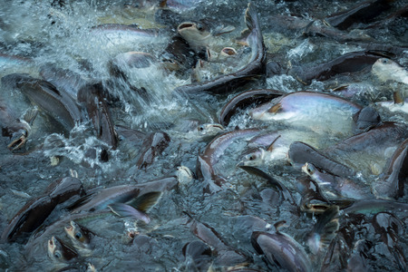 The group pangasius fish in the river, Thailand 免版税图像