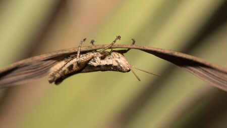 Close up of the little grasshopper on the green leaf.