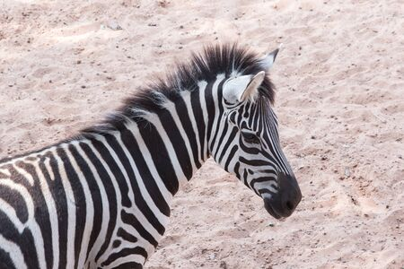 Black & White streak  on zebras head.