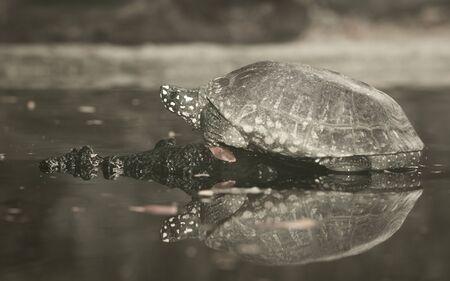 Turtle living near a little pond.