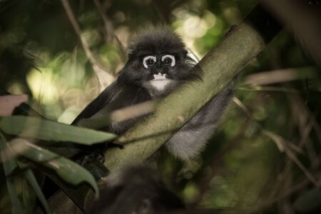 Dusky Langur live in the forest in National Park, Thailand