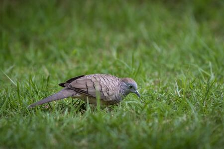 The Zebra Dove living on ground in the park
