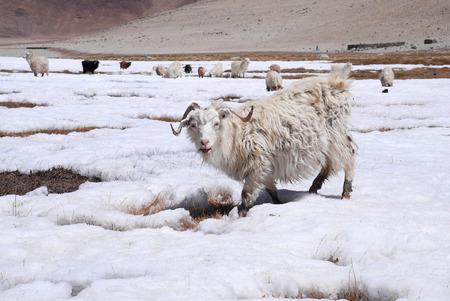 White Goats on snow field, Leh ladakh, India