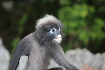 Wild dusky leaf monkey or Trachypithecus obscurus on blurred nature background.
