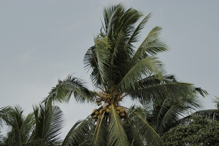 Close up coconut palm tree against dark clouds before power storm or hurricane. Stock Photo
