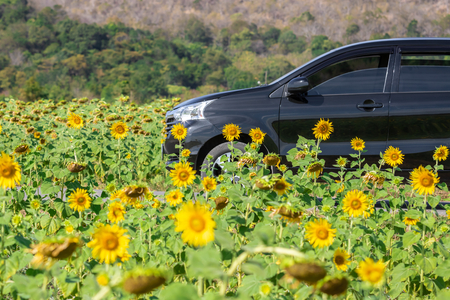 Car on road in field of yellow sunflower landscape. Banque d'images