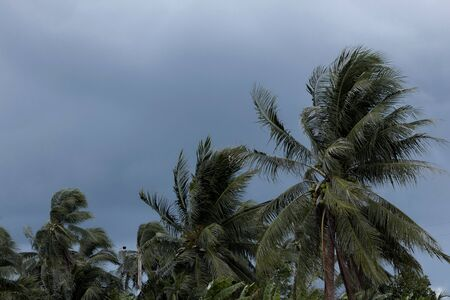 Beginning of tornado or hurricane winding and blowing coconut palms tree with dark storm clouds. Rainy season in the tropical