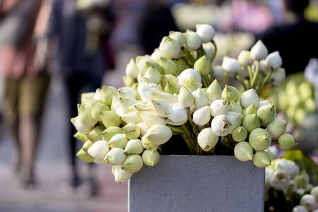 White lotus flowers blossom for Buddhist religious ceremony