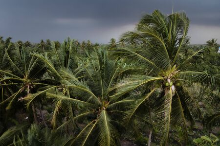 Coconut palm tree blowing in the winds before heavy hurricane in rainy season.