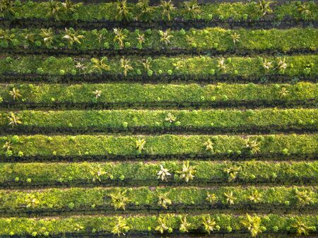 Aerial drone top view of rows of the green tree plantation. Cultivated field landscape Stockfoto