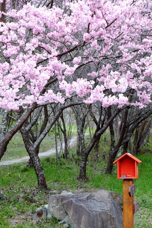 Cherry blossom and mail box photo