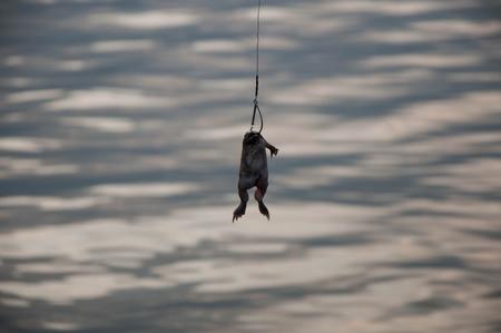 catfish: La pesca. Carnada para los peces-gato - rana en el gancho