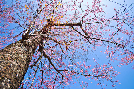 Prunus cerasoides,Wild Himalayan Cherry, Thailand Sakura pink flower photo