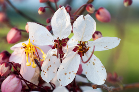 analogous: Beautiful Cassia javanica blossom flower