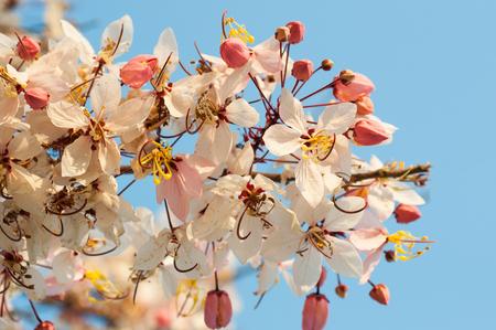 Wishing Tree, Pink Showe, Cassia Bakeriana Craib photo
