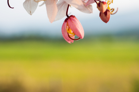 Wishing Tree, Pink Showe, Cassia Bakeriana Craib photo