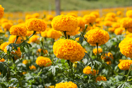Yellow Marigolds (Tagetes erecta Linn.) photo