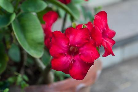 adenium obesum balf: Desert Rose; Impala Lily; Mock Azalea),Adenium obesum Balf.,