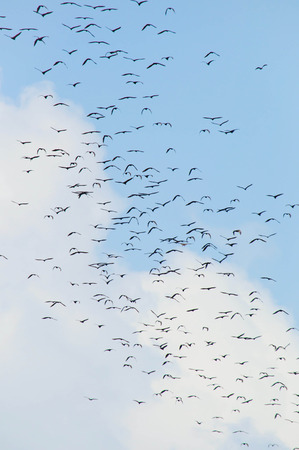 pteropus: A lot of bats flaying in the blue sky
