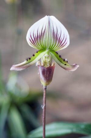 paphiopedilum: Slipper Orchid Paphiopedilum Leeanum