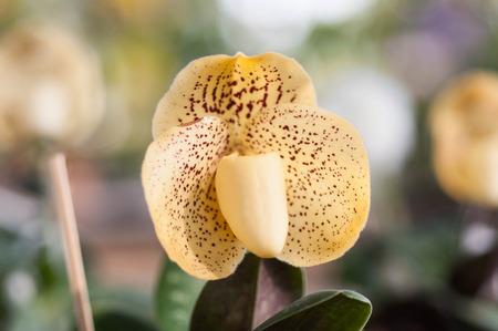 paphiopedilum: Lady Slipper Orchid Paphiopedilum