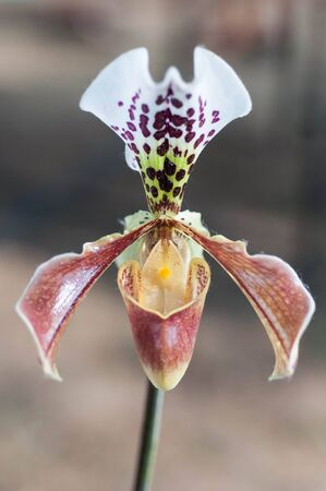 Slipper Orchid Paphiopedilum Leeanum photo