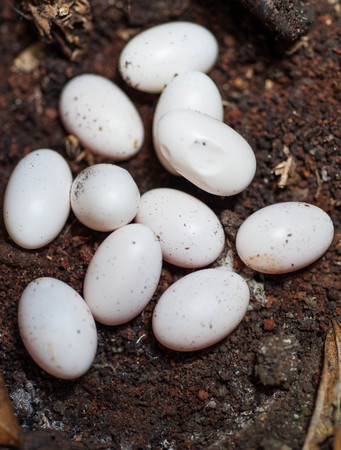 pythons: snake eggs on the ground
