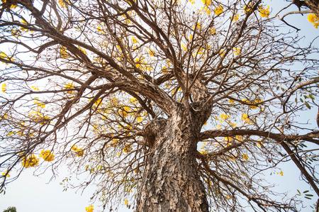 paraguayan: Silver trumpet tree (Tabebuia aurea, Tree of gold,Paraguayan silver trumpet tree) Stock Photo