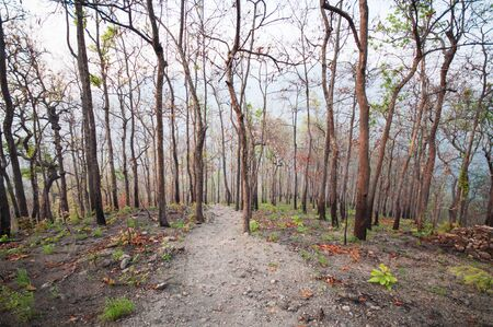 evergreen forest: Dry Evergreen forest in Thailand