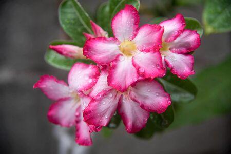 waterdrop: waterdrop on desert Rose,Impala Lily- Mock Azalea Stock Photo