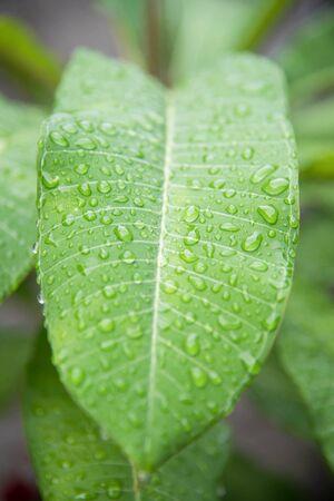 waterdrop: waterdrop on plumeria leaf can be used as background