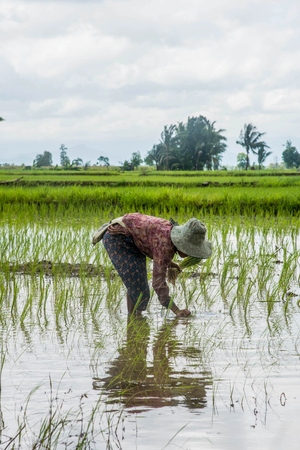 east indian: female farmers planting rice by hands in Thailand