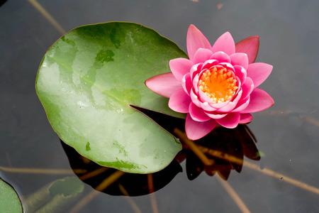 pad: Pink lotus flowers blooming on pond Stock Photo