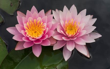 lirio de agua: Flores de loto rosa en flor en la charca