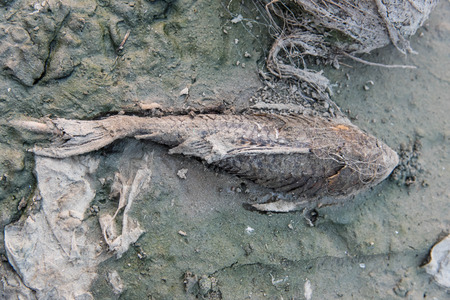dead fish on dry lake