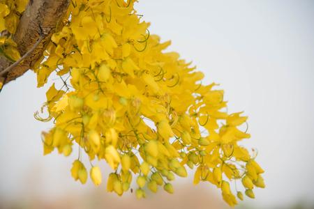 golden shower: Cassia fistula flower,Golden shower
