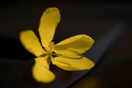 fistula: Close up of Cassia fistula flower,Golden shower
