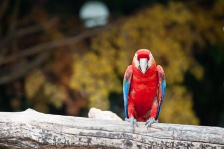 Red parrot photo