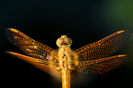 flavescens: Pantala flavescens dragonfly top view on lotus root