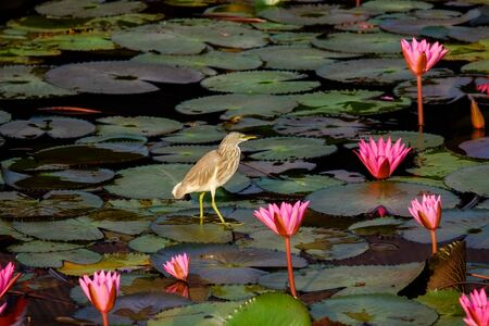 Bird standing on water lily leave at Talay noi lake, Phattalung province, Thailand.