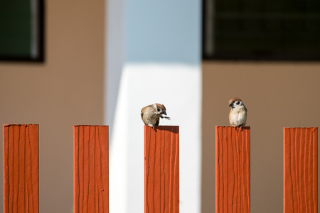 perching: Two of Tree Sparrow perching on a orange fence