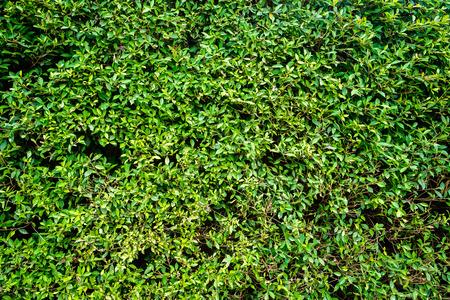 shrubbery: Gren shrubbery wall. full frame. Stock Photo