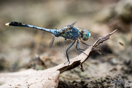 flavescens: Blue Pantala flavescens dragonfly peerching on dry leaf, selective focus. Stock Photo