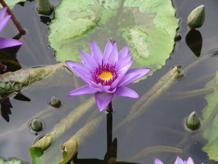 Una flor de Lotus lila en el agua  Foto de archivo